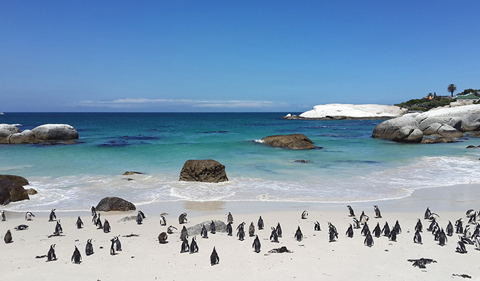 penguins at Boulders Beach, just outside of Cape Town