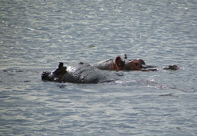Hippopotamus peaking out of the water in Botswana, Southern Africa