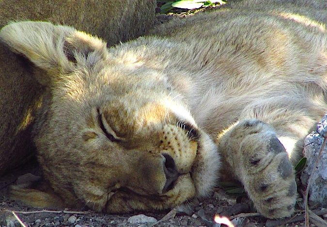 A sleeping lion cub in Namibia, Africa