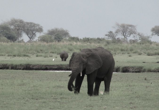 More elephants in Chobe