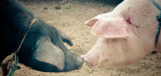 Black and pink pig kissing snouts