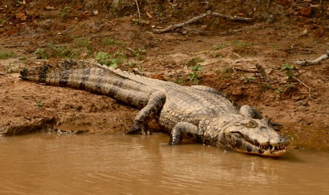 alligator in the bolivian rainforest