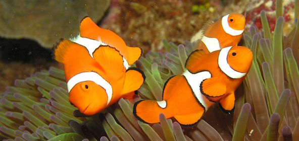 clownfish in the great barrier reef