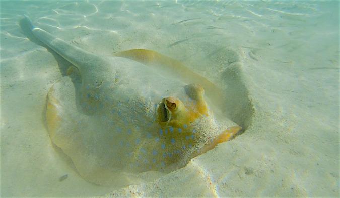 Manta Ray Coral Bay