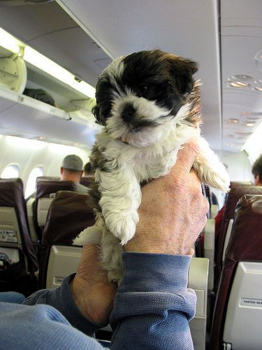a dog on an airplane