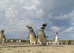 penguins width=