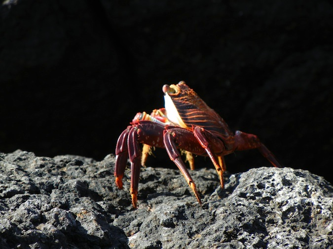 multi colored land crab in the a galapagos