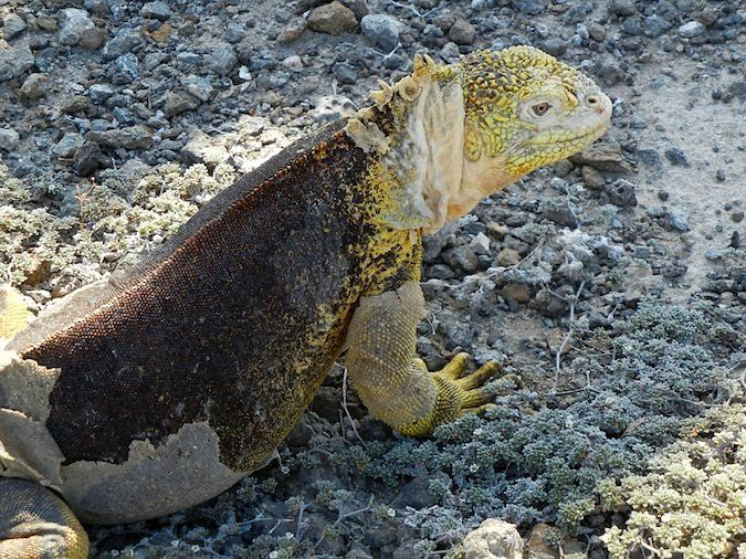 giant yellow lizard