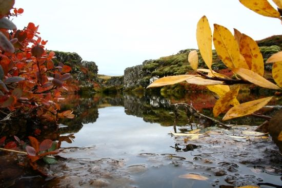 Thingvellir National Park in the fall with the leaves changing color
