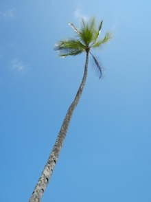 palm tree in manuel antonio