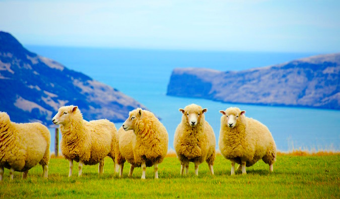 new zealand sheep on a farm - try WOOFing to save money in NZ