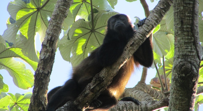 A howler monkey on Ometepe island