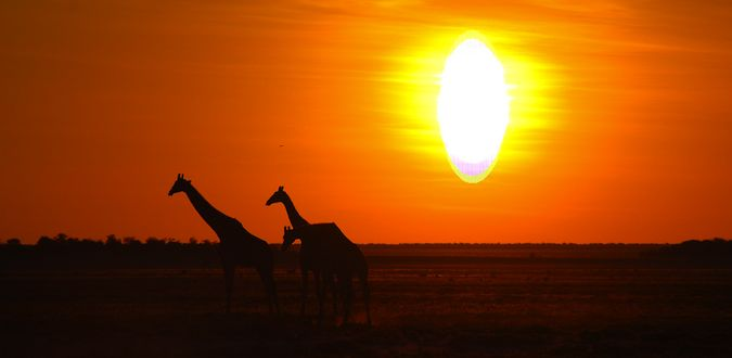 Three gorgeous giraffes at sunset in Namibia, Africa