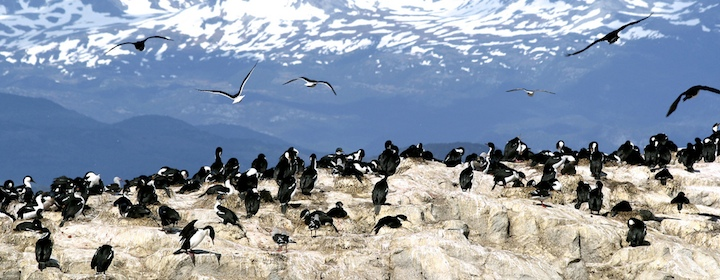 Penguins and birds in Patagonia in Chile
