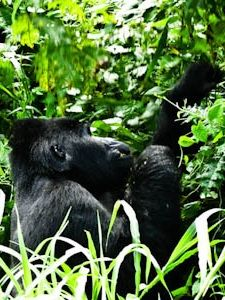 Gorillas in the jungles of Uganda, Africa
