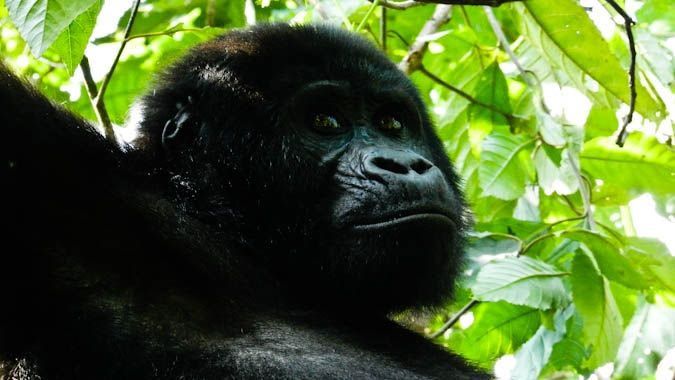 A stunning gorillas in the jungles of Uganda, Africa
