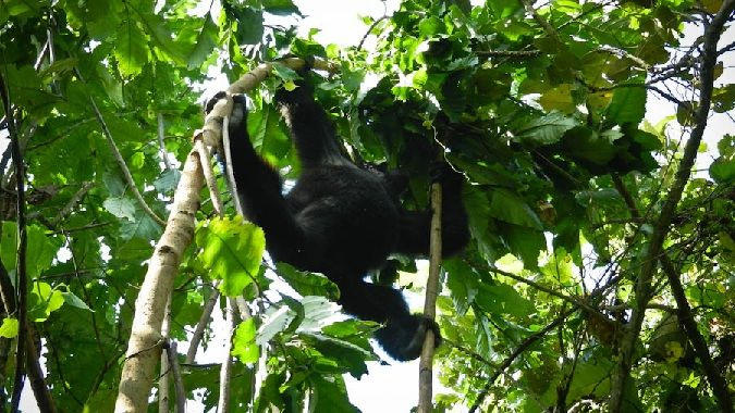 Gorillas are beautiful creatures and can be found in the jungles of Uganda