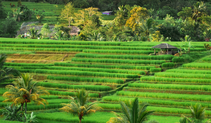 The lush green Jatiluwih rice terraces in Indonesia