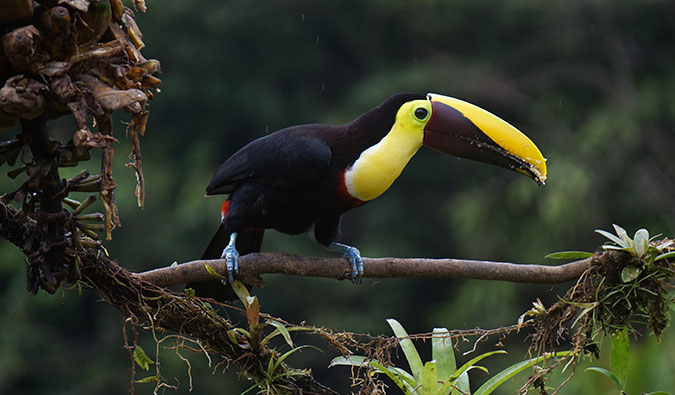 a colorful toucan in Central America