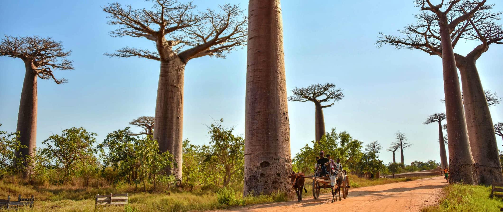 Baobab trees in Madagascar; Photo by Rod Waddington (flickr:@rod_waddington)