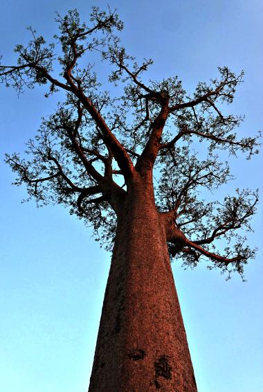 A massive baobab tree in Madagascar