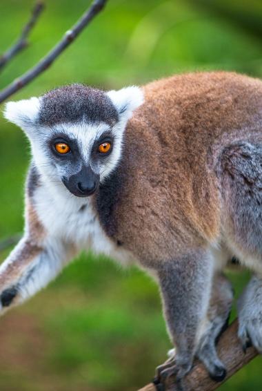 A brown lemur on Lemur Island in Madagascar