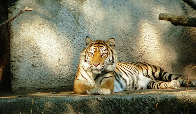 A tiger at the zoo
