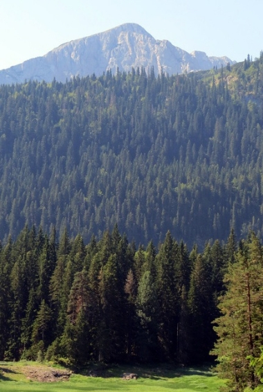the trees in Durmitor National Park Montenegro.
