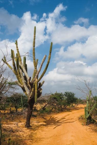 a cactus in the  La Guajira region of Colombia.