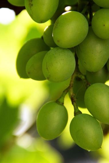 A bunch of green Moldova Grapes