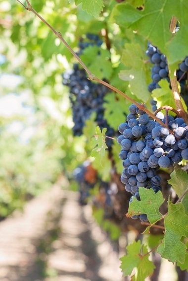 Grapes on a vine in a Vineyard.
