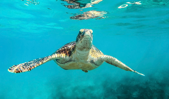 A turtle swimming in the clear waters of Barbados