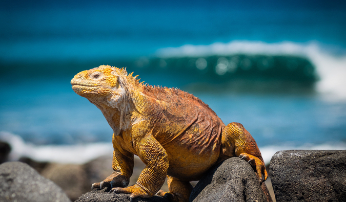 A bright lizard standing on the rocks in the Galapagos Islands in Ecuador
