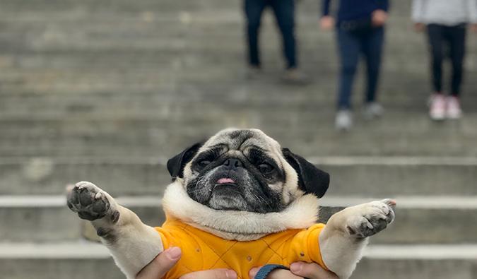Boogie the pug in Philadelphia