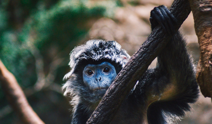 A small monkey staring at the camera at the Bronx Zoo in New York City