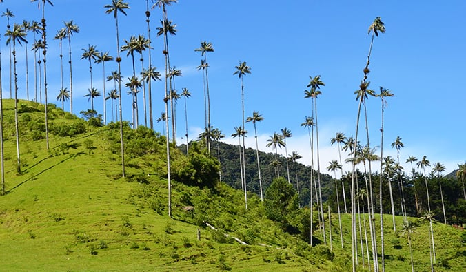 the famous wax palms set against a green hill in Cocora Valley, Colombia