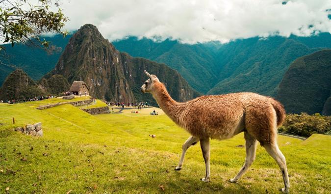 a llama overlooking Machu Picchu in Peru