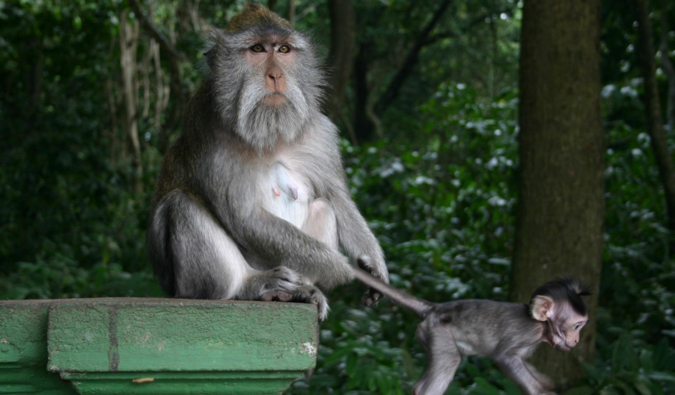 a large monkey with her baby at Bali's Monkey Temple