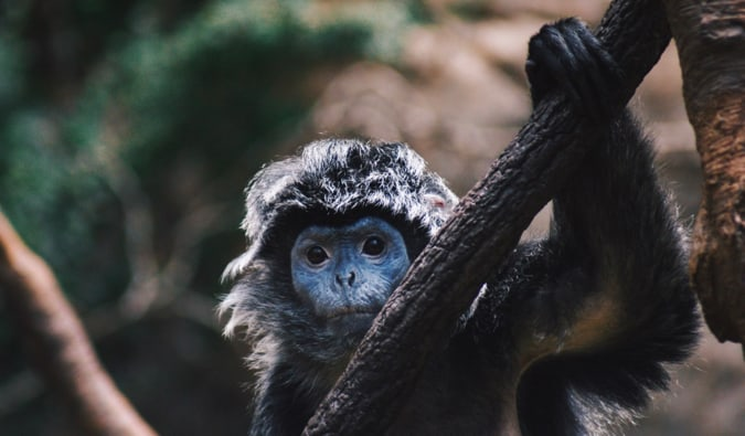 A small monkey looking at the camera at the Bronx Zoo in New York City