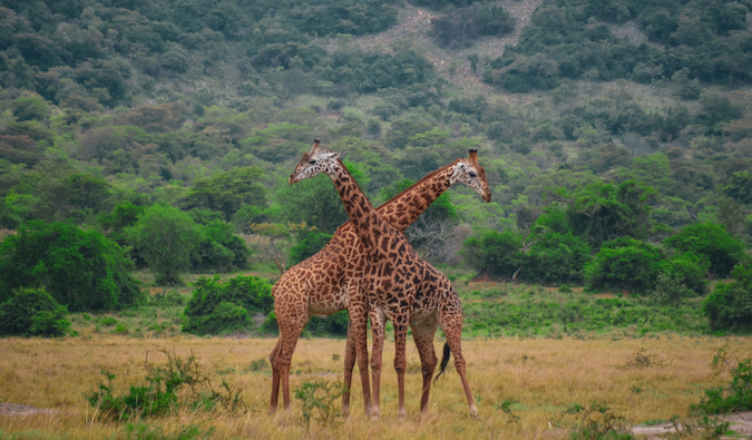 two giraffes standing neck and neck in Rwanda