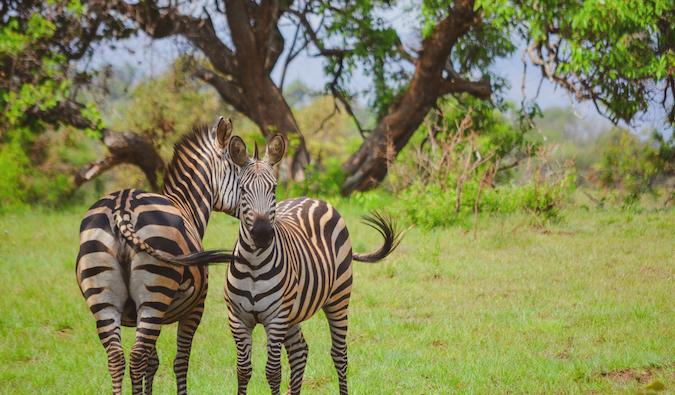two zebras in Rwanda