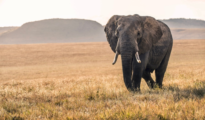 A lone elephant walking across the savannah in Kenya