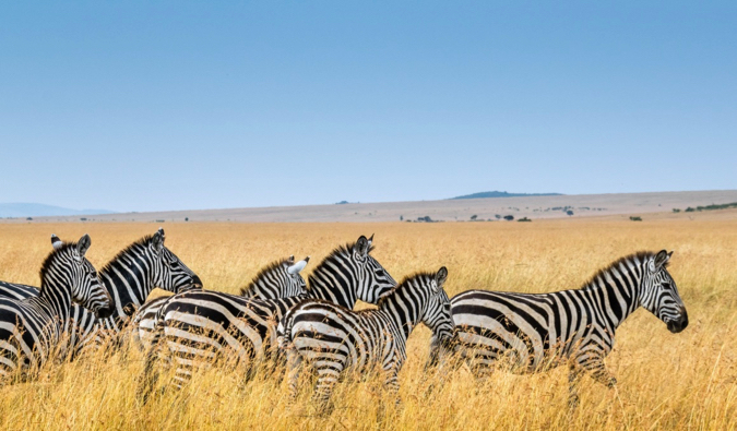A group of zebras standing in tall yellow grass in Kenya