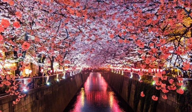 der Fluss Meguro in Tokyo von Kirschblüten umgeben