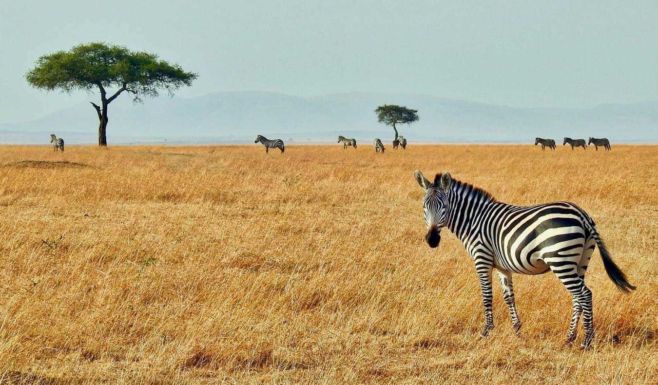 Zebra on the plains of the Masaai Mara in Kenya, Africa