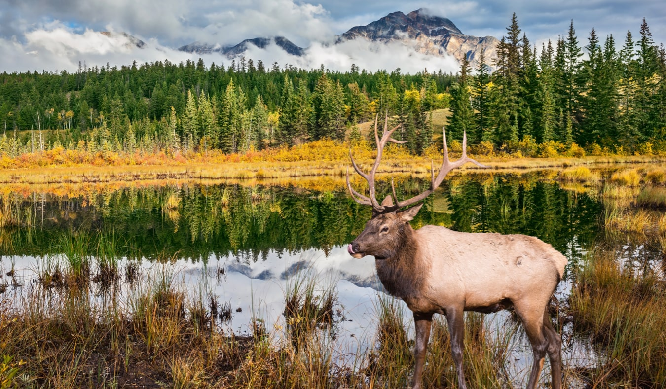 The huge elk standing near a small lake in Alberta, Canada near Jasper
