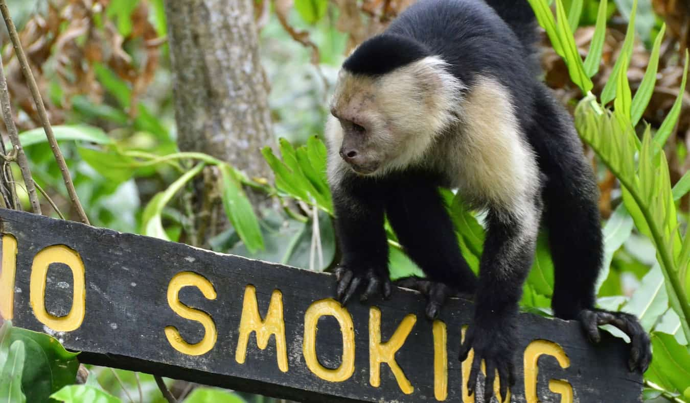A monkey climbing on a sign in Cahuita, Costa Rica