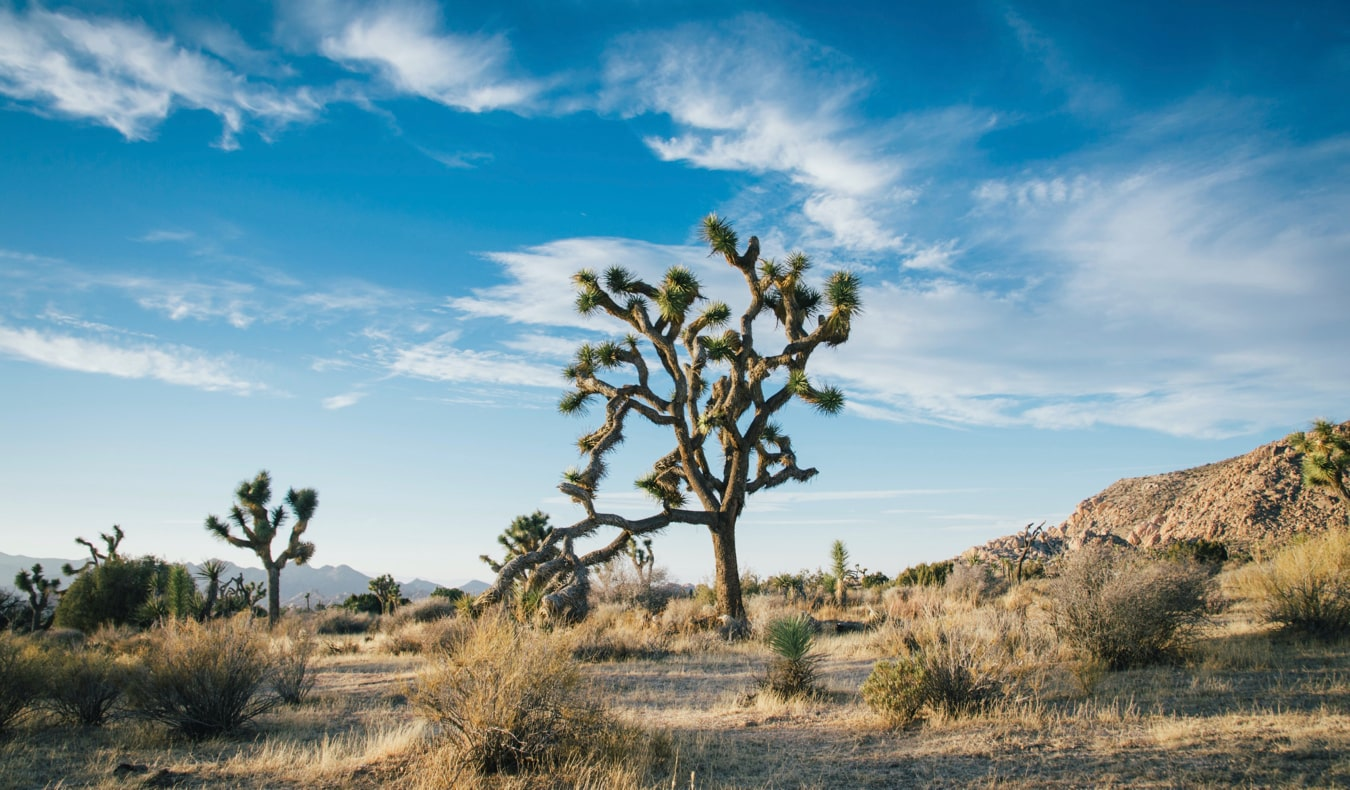 An iconic Joshua Tree from Joshua Tree National Park in California, USA