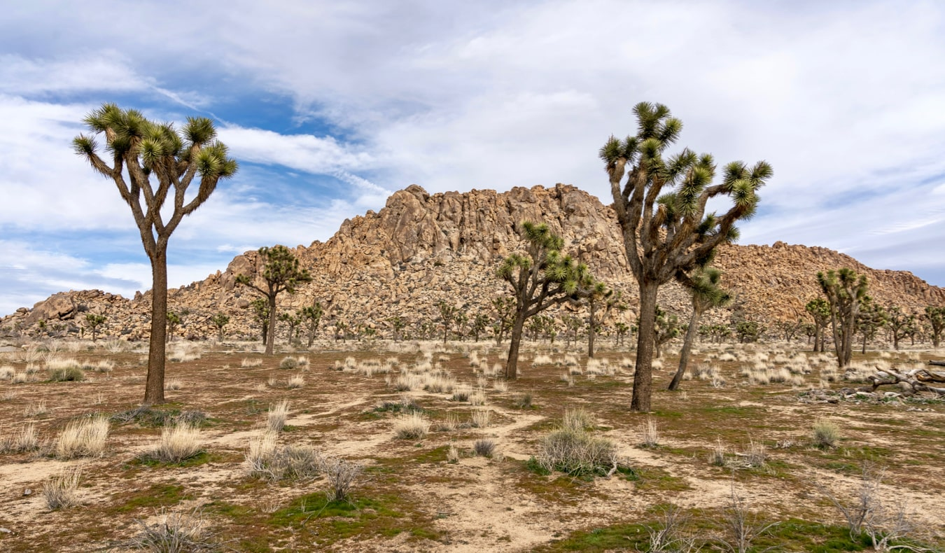 The iconic Joshua trees growing in the aria California desert