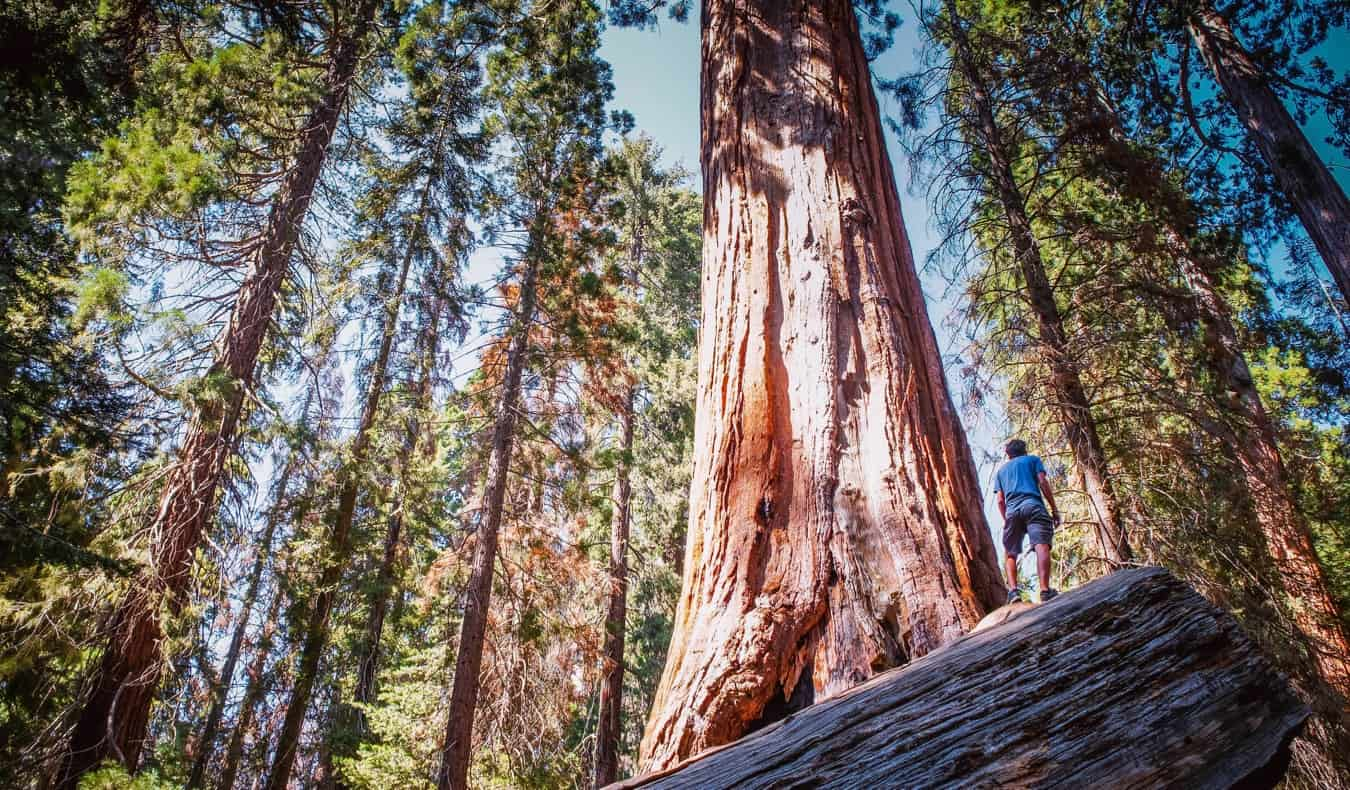 Massive redwood and sequoia trees in Sequoia National park in California, USA